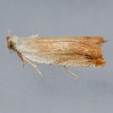 3370  Ancylis platanana