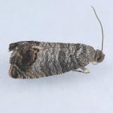 3492 Codling Moth - Cydia pomonella