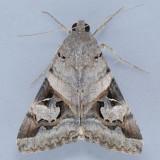 8600 Indomitable Melipotis - Melipotis indomita