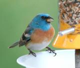 Bluebirds and Blue Birds