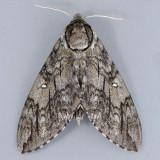 7787 Waved Sphinx - Ceratomia undulosa