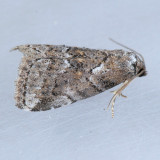 9038   White-lined Graylet – Hyperstrotia villificans