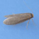 5623 Lesser Wax Moth – Achroia grisella