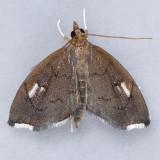 4951 Titian Peale's Pyralid - Perispasta caeculalis