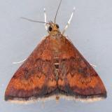 5051 Variable Reddish Pyrausta - Pyrausta rubricallis