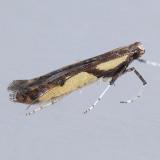 596 Caloptilia blandella