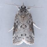 8978 Forgotten Frigid Owlet – Nycteola metaspilella