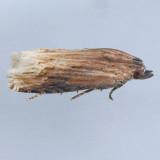 3125 Eucosma rusticana