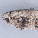 7650  Gray Scoopwing - Callizzia amorata