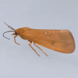 8125 – Virbia fragilis