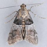 5596  White-aproned Pococera  – Pococera scortealis