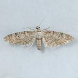 7530   Eupithecia swettii