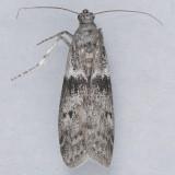 6020 Mediterranean Flour Moth - Ephestia kuehniella