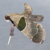 5556   Dimorphic Tosale Moth – Tosale oviplagalis