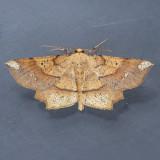 6733 Deep Yellow Euchlaena - Euchlaena amoenaria