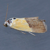 9085  The Half-Yellow - Ponometia semiflava