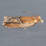 3374  Strawberry Leafroller Moth – Ancylis comptana
