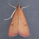 4992 Genista Broom Moth - Uresiphita reversalis