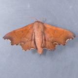 7659  Scalloped Sack-bearer  – Lacosoma chiridota