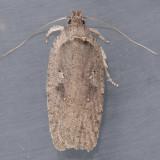 0889  Agonopterix argillacea
