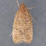 0957   Dotted Leaftier  – Psilocorsis reflexella