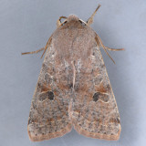 10495 Speckled Green Fruitworm – Orthosia hibisci