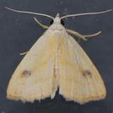 8404 Spotted Grass Moth - Rivula propinqualis