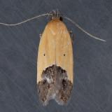 1524  Sweetclover Root Borer  – Triclonella pergandeella