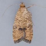 0955  Oak Leaftier  – Psilocorsis quercicella