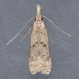 2288  Many-spotted Dichomeris - Dichomeris punctipennella