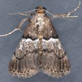 5579  Zeller's Epipaschia - Epipaschia zelleri