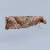 3120  Derelict Eucosma - Eucosma derelicta