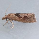 3116.2 Boomerang Moth - Eucosma similiana