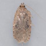 0878   Canadian Agonopterix  – Agonopterix canadensis