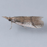 6067 Atascosa glareosella
