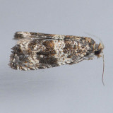 2859 - Celypha Moth - Celypha cespitana  CHECK ??