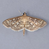 5277 Zigzag Herpetogramma Moth – Herpetogramma thestealis