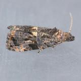 2732 Endothenia montanana