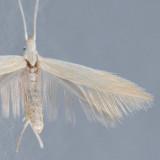 1357  Coleophora angentialbella
