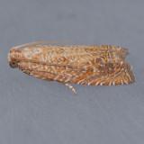 3144  Eucosma floridana