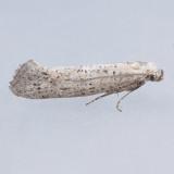 2491 Acrolepiopsis leucoscia