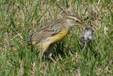 Meadowlark killing Deermouse