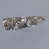 5773.1  Salebriaria roseopunctella
