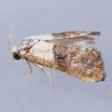 3790  Fleabane Cochylid - Eugnosta erigeronana