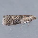 5745 Glyptocera consobrinella