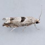 3212  Sunflower Bud Moth - Suleima helianthana