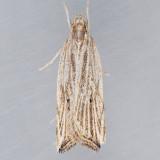 2268  Lanceolate Moth – Helcystogramma hystricella