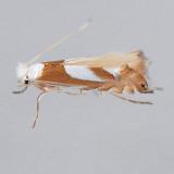 752 Phyllonorycter fitchella