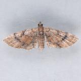 7453 Peck's Pug Moth – Eupithecia peckorum