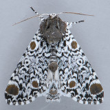 9286 Harris' Three-spot Moth - Harrisimemna trisignata